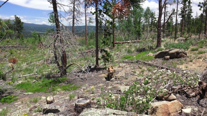 Australian Cattle Dog Plays Fetch in Forest. Denver, Colorado, USA.   Shutterstock HD Video #1040181233