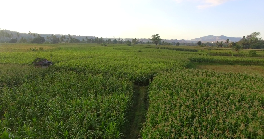 Drone fly over on green corn tree field in Sumbawa, young corn tree | Shutterstock HD Video #1040698283