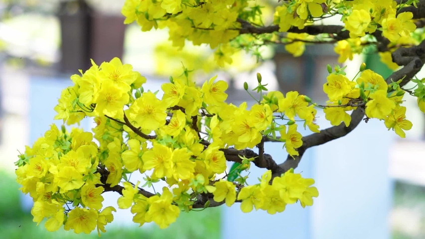Hd00 33apricot Bonsai Tree Blooming With Yellow Flowering Branches