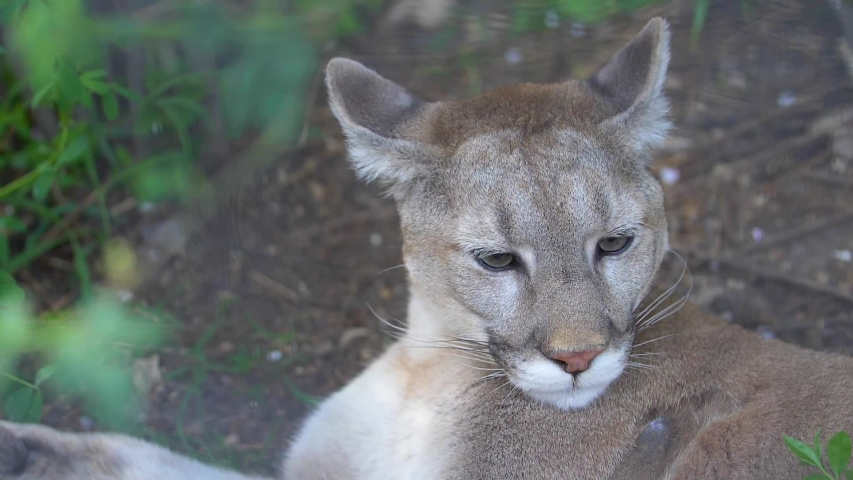 Cougar resting lying in the shade of a bush