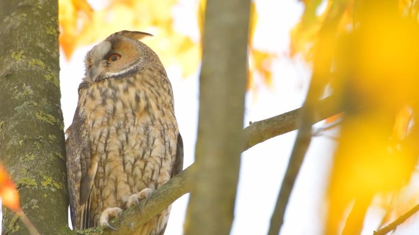 Long-eared owl (Asio otus) sitting high up in a tree with yellow colored leafs during a fall day. Slow motion clip.   Shutterstock HD Video #1041461563