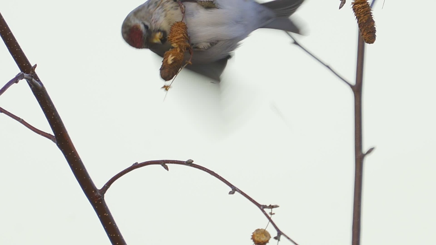 Bird - Redpoll ( Acanthis flammea ) sitting on a branch of a tree and eats the seeds of a birch tree. Close-up. | Shutterstock HD Video #1041747853