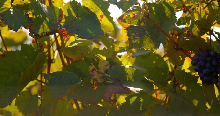 Grapevine leaves & bunches of grapes blowing in the wind backlit on sunny day. | Shutterstock HD Video #1042246393