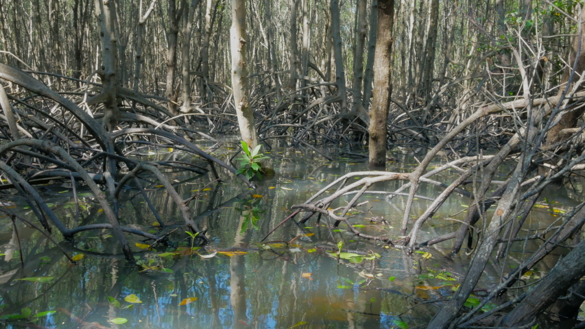 Jib shot. Swamps and wetland of mangroves forest. Rising tide in mangroves forest.  | Shutterstock HD Video #1042591483