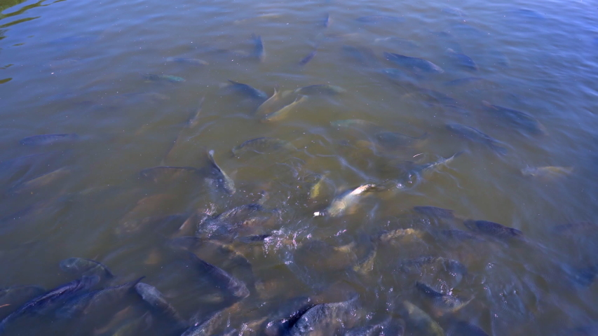 Feeding fish in pond, many fish eating food in farm agriculture | Shutterstock HD Video #1042801243