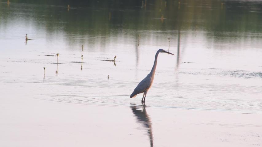 Grey heron searching for food  at Ras al Khaimah mangrove. uae wildlife and nature | Shutterstock HD Video #1042810993