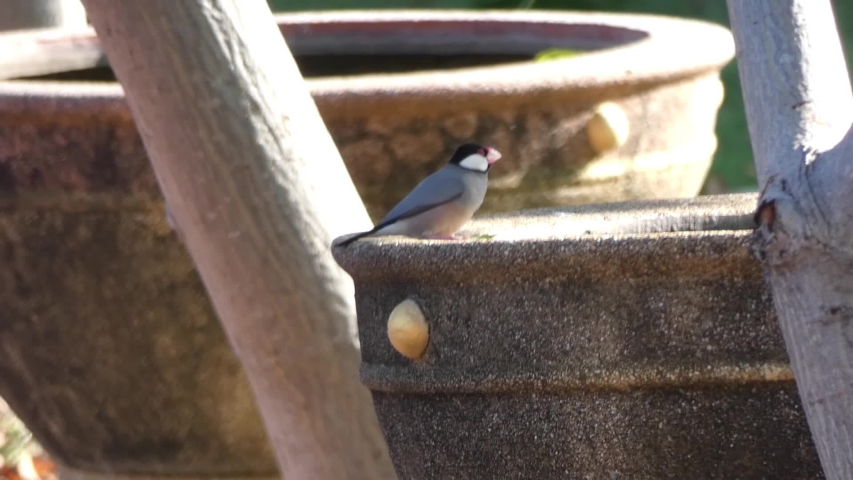 Java sparrows feed on water in the basin. | Shutterstock HD Video #1043258713