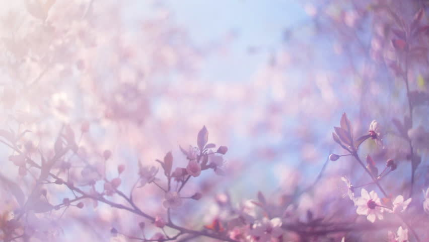 Blooming pink Japanese Sakura with blur effect in a milk gauze against blue sky. Shallow dof. Cinematic moving fairy nature scene of cherry tree in pastel colors. Slow motion hd footage. 1920x1080