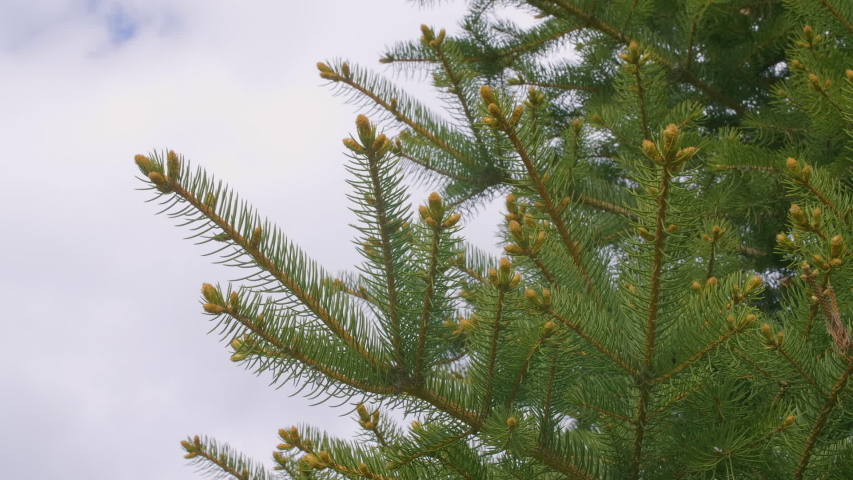 Green fir tree branches with needles buds and sky with empty space for text   Shutterstock HD Video #1044850933