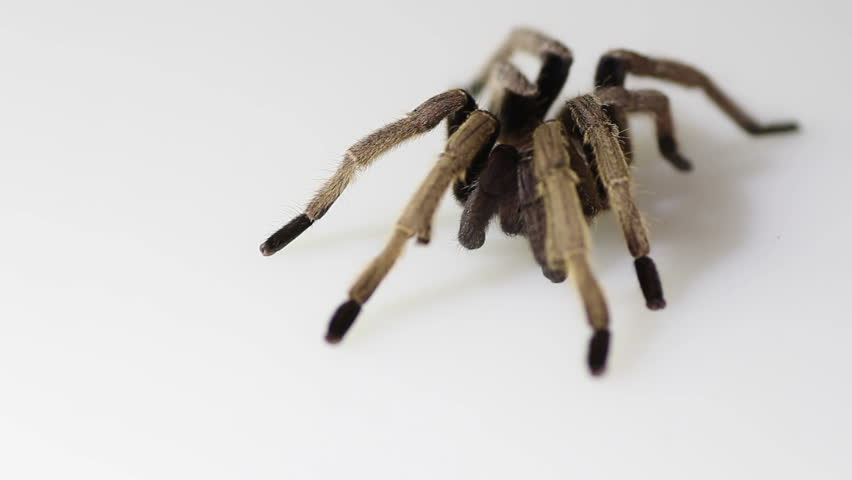 Thailand Golden Fringed tarantula (Ornithoctonus aureotibialis) male adult on white background | Shutterstock HD Video #10448915