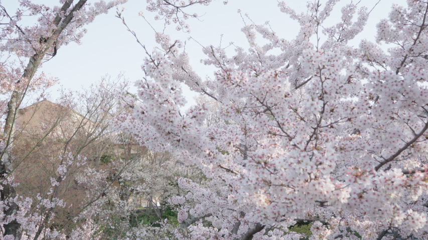 Cherry blossoms in Kyoto, Japan | Shutterstock HD Video #1044916393
