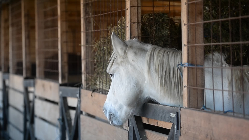 White horse in a stall inside a stable looking at the camera. | Shutterstock HD Video #1044931033