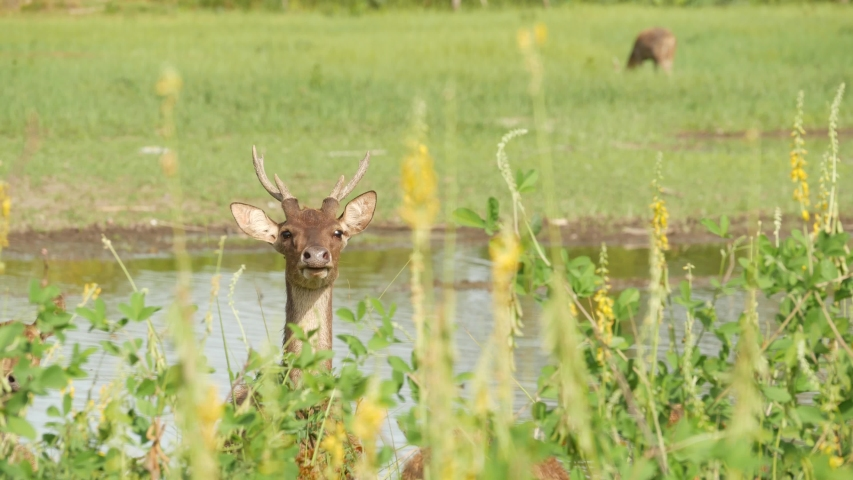 Young strong graceful deer, green pasture with green juicy grass. Spring meadow with cute animals. Livestock field in tropical Asia. Natural lagndaschaft with group of fawns. Environment conservation. | Shutterstock HD Video #1045047523