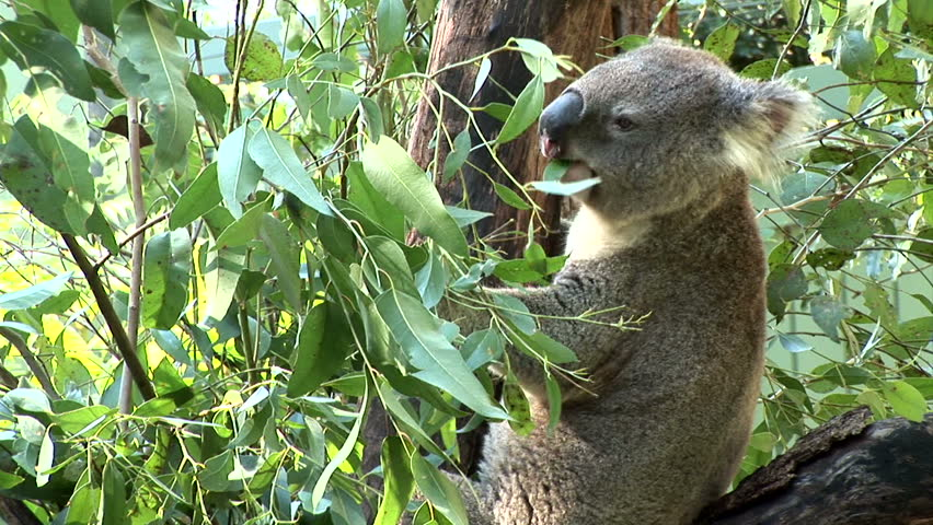 Wide shot of a Koala eating