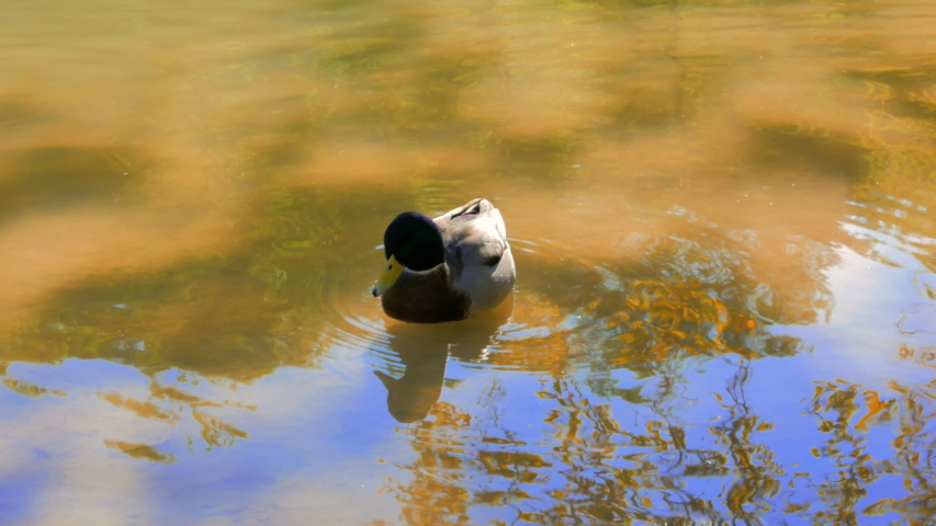 Duck swimming in a golden and blue pond in autumn | Shutterstock HD Video #1046461663