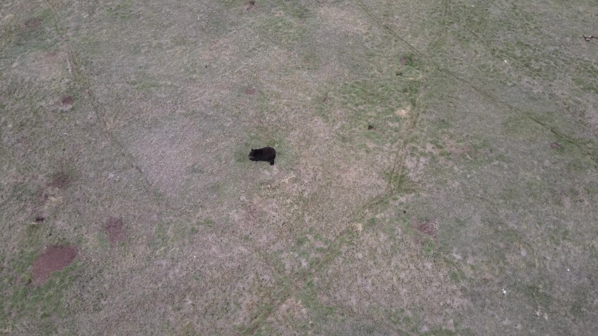 Aerial Drone of Black Bear Resting in Grassland Field in Spring | Shutterstock HD Video #1049635333