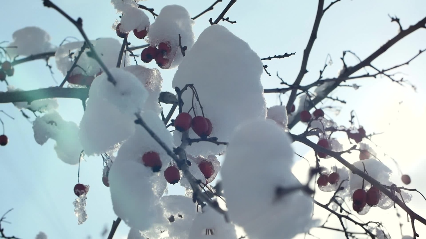 Red berries on a tree under snow, sunlight | Shutterstock HD Video #1049886043