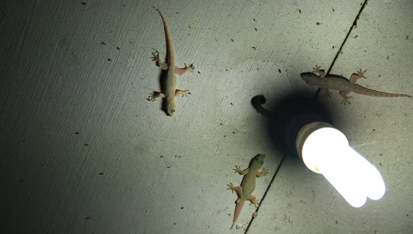 Stock Video Clip Of House Lizards Gecko On Ceiling Catch