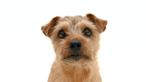 Norfolk terrier dog looking right and left against white background