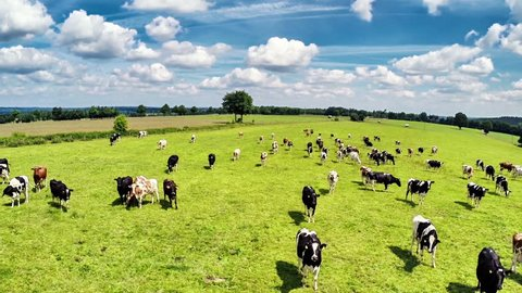 Aerial view of summer countryside with grazing cows. Agricultural background. Full HD, 1080p