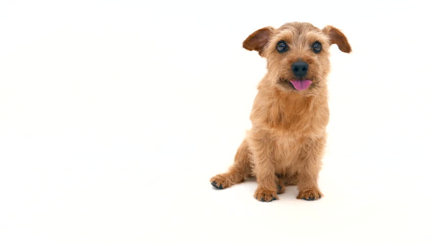 Norfolk terrier dog against white background