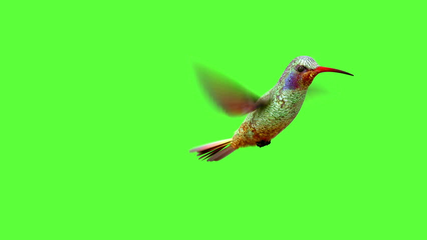 Humming bird on white and black backgrounds with an alpha matte, 3d animation  | Shutterstock Video #10703939