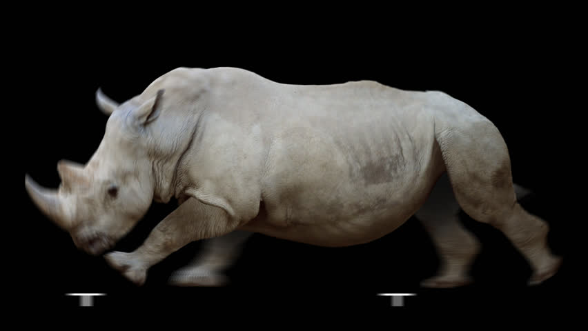 Isolated rhinoceros cyclical running. Can be used as a silhouette.