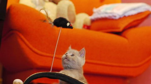 Kitten playing with a toy mouse at home