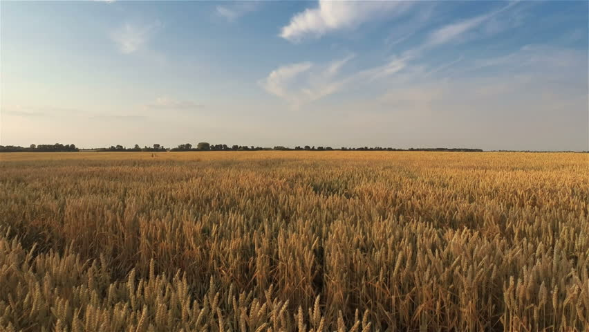 Takeoff and Flying Over Wheat Field - HD stock footage clip