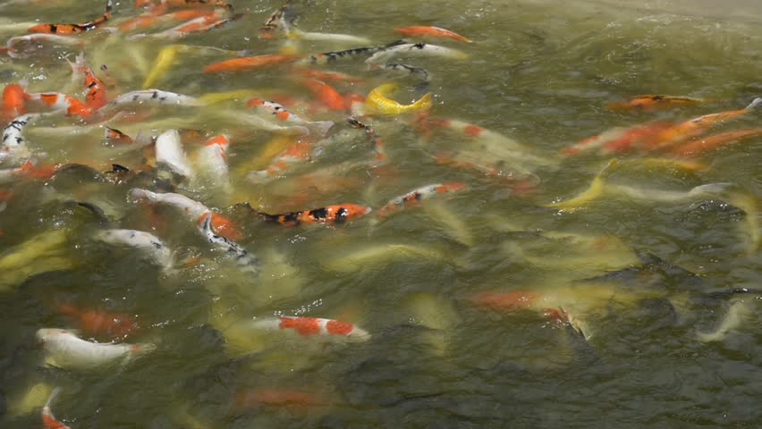 Ornamental pond fish 100 images koi fish play in fish for Ornamental pond fish golden