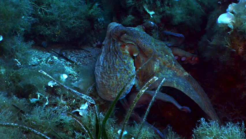 Octopus swimming over mediterranean reef landscape, slightly changes its colors, rests at the end of the shot, tracking shot   Shutterstock HD Video #10833563