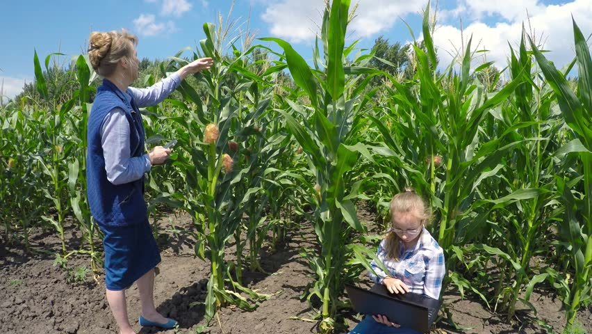 Corn Plant farmer and researcher analyzing corn plant stock footage video