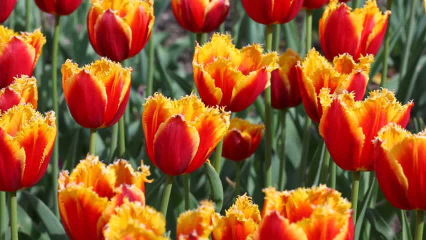 orange tulips, closeup of bright beautiful flowerbed, Three-colored Beauty sort - HD stock footage clip
