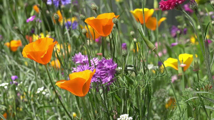 Field Of Colorful Summer Flowers Cornflower And California Poppy 4k Stock Video Clip