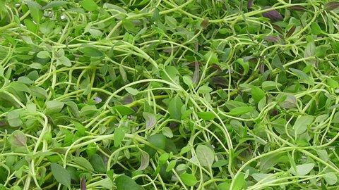 Time-lapse of drying (dehydrating) thyme (Thymus vulgaris) herb 1b1