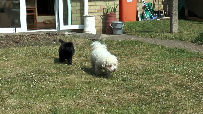 White bichon frise Footage #page 3 | Stock Clips
