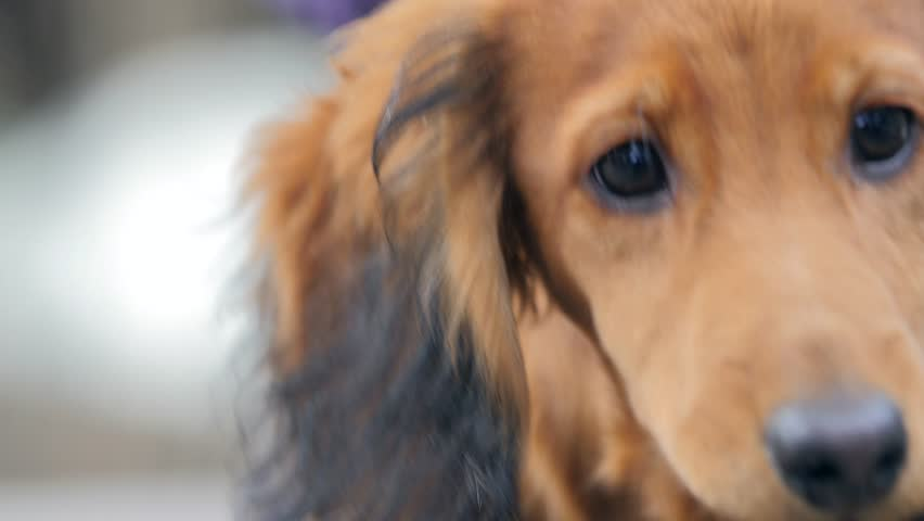 Red Long Haired Dachshund Puppy Dog Stock Footage Video 100