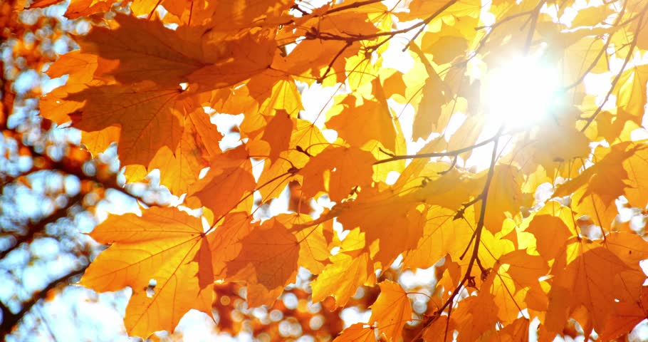 Sun shining through fall leaves blowing in breeze. Slow motion. Colorful golden autumn leaves close up background. 4k graded from RAW.