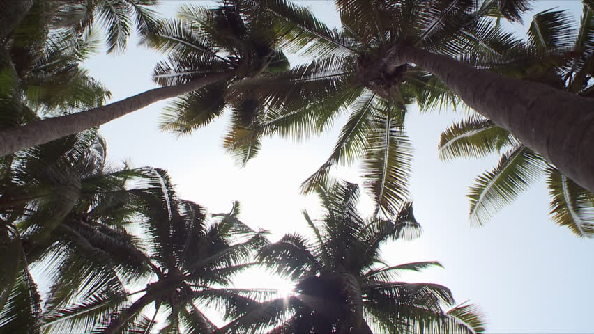 A shot looking upwards towards the tops of several date trees and turning slowly in a circular motion, showing the blue skies and beaming sun in Salalah, Oman