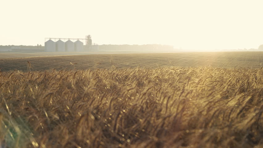 Sunrise over the wheat field of ripe wheat and silage barrels 4K