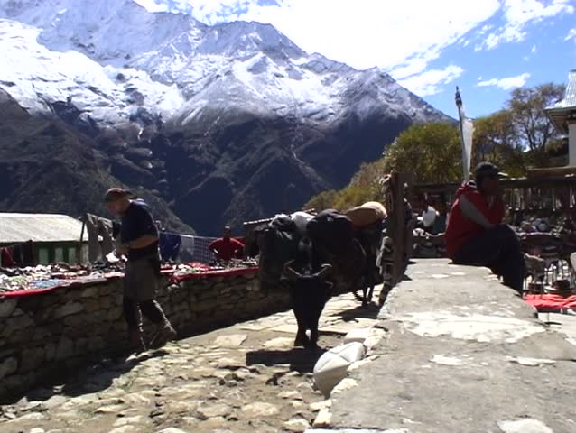 A group of yaks carrying supplies through a village in the himalayas of Nepal.