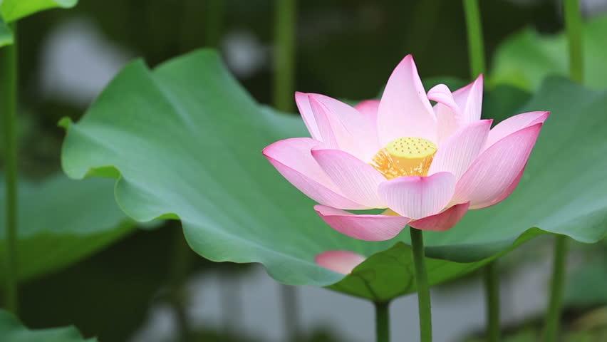 Beautiful Blooming Lotus Flower In Stock Footage Video 100 Royalty