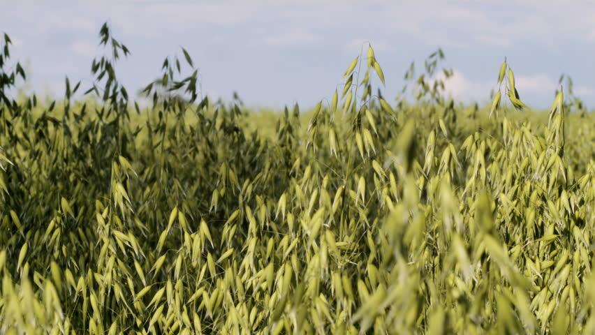 Sow pan over oat field | Shutterstock HD Video #11226692