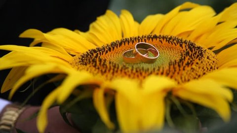 Rings on sunflower,footage