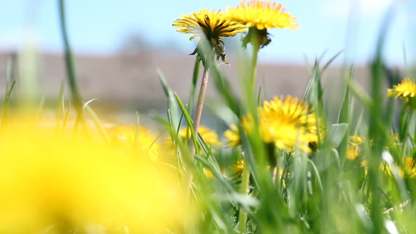 Dandelions (Taraxacum officinale) swaying in the wind. HD 1080p. Canon EOS 550D.
