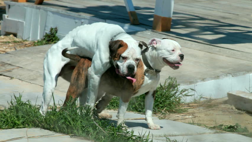 American Pit Bull Terriers mating on the beach