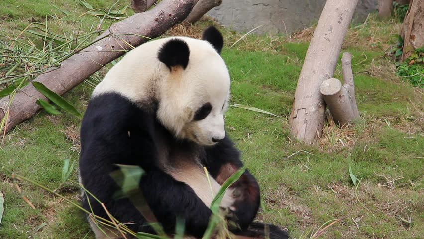 A panda bear eating bamboo