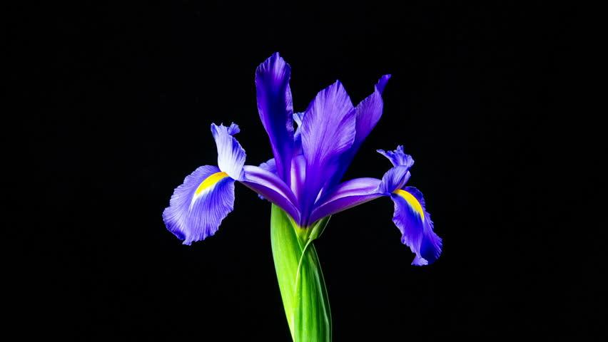 Time Lapse - Single Flower Purple Iris Blooming
