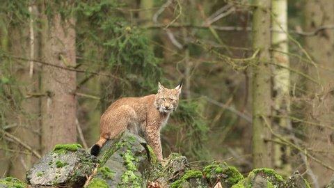 Walking eurasian wild cat Lynx on green moss stone in green forest in background