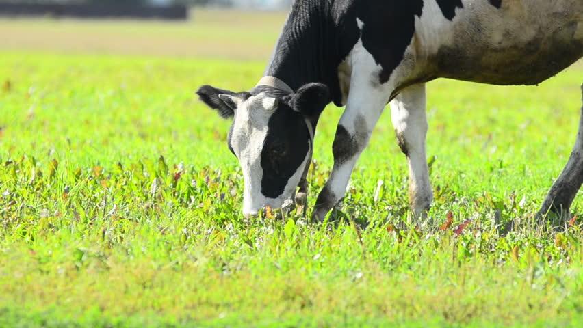 Cow Eats Grass Stock Footage Video 802744 | Shutterstock